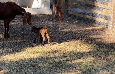 une chèvres en train de jouer